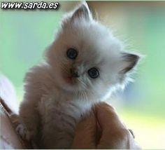 Resultados de la Búsqueda de imágenes de Google de http://www.sarda.es/animales/el-gato-mas-pequeno.jpg