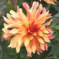 Dahlia 'French Cancan'