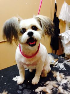 24 best dog grooming techniques images on pinterest dog grooming shihtzu papillion x pet grooming solutioingenieria Images