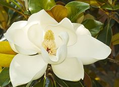 Blooming Magnolia - Mississippi State University