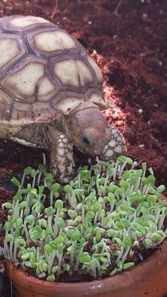 Tank the Sulcata tortoise enjoying fresh sprouted chia seed.