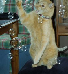 My 11 y/o cat still likes to play with bubbles Cats Playing, Bubbles, Animals, Animaux, Animal, Animales, Animais