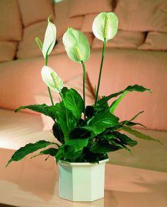 Crinul păcii. Spathiphyllum. Peace lily.