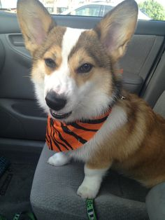 I'm a ferocious tiger - not to be confused with a super cute corgi.