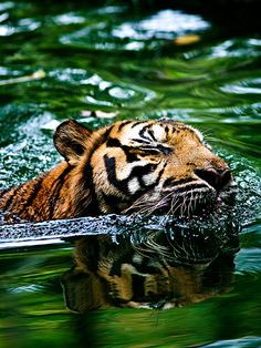 Tiger via Flickr. So pretty and majestic