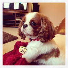 Beautiful cavalier King Charles spaniel dog