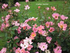 wild rose bush photos - Google Search