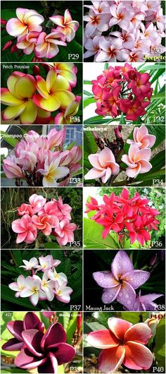 Plumeria variety in Thailand. New Thai Plumeria 40 flowers available now. It looks fantastic colors with large flower and most fragrant.