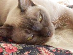 Maisie Cat | Pawshake Sapphire beach