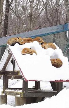 Haha! So much for it being a CHICKEN coop! My Animal, Funny Animals, Baby Animals, Animals And Pets, Cute Animals, All Gods Creatures, Cute Creatures, Beautiful Creatures, Animals Beautiful