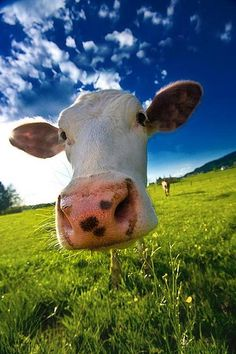 Muuu by {Andrea Rum}- this picture made me smile and reminded me of my summers when I was little :)