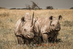 Female black rhino and calf with unusually long horns in the grasslands of Lewa Wildlife Conservancy, north Kenya.