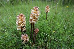 Biological control of weeds via their own aromas
