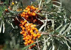 Buck Up! Our is rich in Sea Buckthorn oil, which replenishes lipids lost due to environmental aggressors with Omega and and revives the skin's barrier for soft, supple and healthy-looking skin. Vitamin A, Watermelon Rind, Cleansing Oil, Natural Home Remedies, Herbalism, Pumpkin, Fruit, Vegetables, Healthy