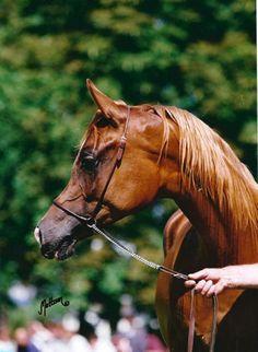 Arabian mare Kwestura as a yearling