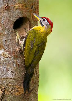 Laced Woodpecker from Southeast Asia