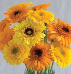 "Princess Mix Calendula is a mix of mostly double blooms with some single  golden yellow and orange flowers that are 2-3"" in diameter with black or green centers. Can also be used in borders or containers. Ht. 18-24"".  Flowers are edible.  Plants can be grown in containers.  Good variety to choose for fresh cut flower displays.  Ready to harvest in 50-60 days."