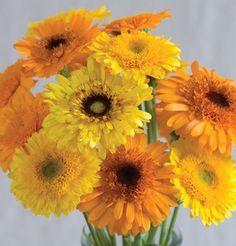 Herb Calendula Princess Mix (Yellow) 100 Organic Seeds by David's Garden Seeds Orange