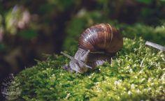 (Winniczki w naszym jadłospisie) Compendium ferculorum albo zebranie potraw to pierwsza polska książka kucharska z 1862 roku, której autorem był... Bushcraft, Snail, Animals, Animales, Animaux, Animal, Animais, Slug, Camping Survival