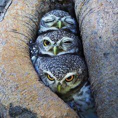 Wakey, Snoozy and Sleepy Photo: Sompob Sasi-Smit