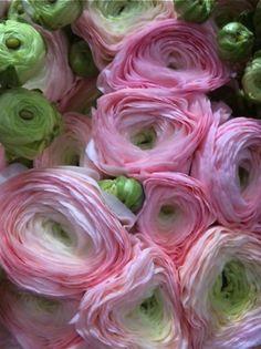 Ranunculus | en Mile Jardín Hogar - Alcañiz http://milejardin.com/floristeria/bodas-eventos #novias #flores #floristería #Teruel