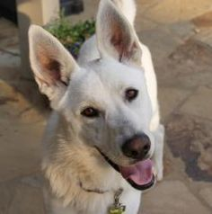 Sasha is an adoptable White German Shepherd Dog in Alpharetta, GA. Sasha is a young GSD female that has wonderful house manners, appears to be housebroken and extremely loving. She was part of a famil...