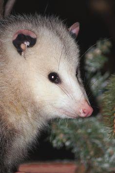 Opossum~cl