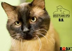 12 / 11  Petango.com – Meet B.B., a 3 years 3 months Domestic Medium Hair / Siamese available for adoption in INDEPENDENCE, MO
