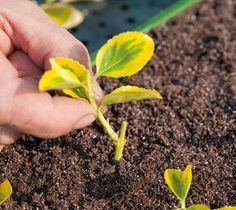 Bouturer : les types de boutures - Bouture en crossette ou à talon Horticulture, Permaculture, Herbs, Plants, Garden, Agriculture, Planters, Flowers, Rose Trees