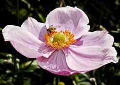 Botanical Flowers, Flowers Garden, Love Flowers, Beautiful Flowers, Japanese Anemone, Lenten Rose, Christmas Rose, Flower Paintings, Delphinium
