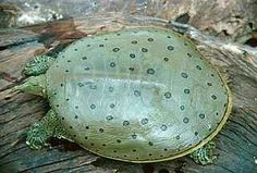 A green soft shell turtle