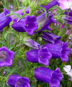 Delphinium morning lights perennial larkspur larkspur pinterest delphinium morning lights perennial larkspur larkspur pinterest delphiniums late summer and plants mightylinksfo