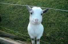 The happy goat... Para nombre de garito es genial. Oso.