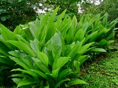 TUMERIC CURCUMIN **This is a rhizome from the ginger family. TROPICAL PLANT