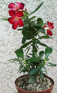 2 yr old adenium in bloom. Ideas for home garden by:  AAkruti Interiors, Malad, Mumbai.  For setting up / renovating your residence / office / commercial space, contact:  Amol Joshi, Interior Designer 9967534621 www.aakrutiinteriors.co.in