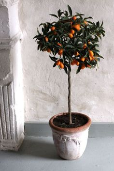 I've started a little citrus grove indoors with 3 trees- kumquat, orange and a tangerine planted in terracotta pots. So far it is going well and the trees are all fruiting.
