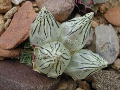 Tingri to Base Camp. Same plant in bloom?