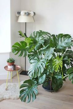 Split leaf philodendron, aka Monstera deliciosa