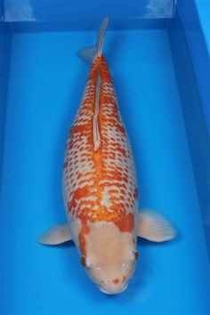 This is kanoke, sometimes spelled konoko. It's suppose to be an ochiba Shigure, but.I thought an ochiba had to have color on it's head. So I'm unsure what to call this very rare spectacular koi. Ochiba Koi, Koi Fish Pond, Koi Carp, Fish Ponds, Symbiotic Plants, Koi Fish Colors, Koi Pond Design, Pond Animals, Fish Information