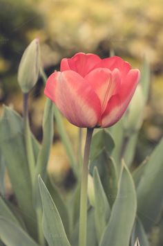 Red tulip flower by Irantzu Arbaizagoitia on Creative Market