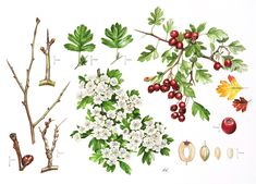 Crataegus---Roger Reynolds Botanical Art