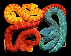 Magnificent Rectangular Serpent Series by French Photographer Guido Mocafico. Photographer Guido Mocafico has taken a decidedly different approach with Beaux Serpents, African Bush Viper, Serpent Venimeux, Serpent Symbolism, Poisonous Snakes, Colorful Snakes, Snake Venom, Snake Art, Snake Totem
