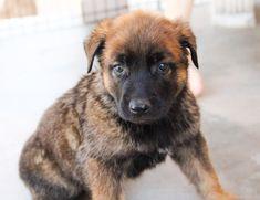 www.elitek-9.com/   #malinois #malinoisofinstagram #maligator #executiveprotectiondogs #exotics Malinois, Executive Protection, Working Dogs, Dog Training, Puppies, Animals, Cubs, Animales, Animaux