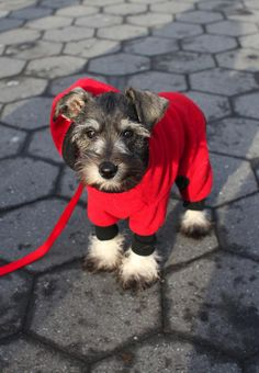 This Is so my dog, mojo he is a minature schnauzer