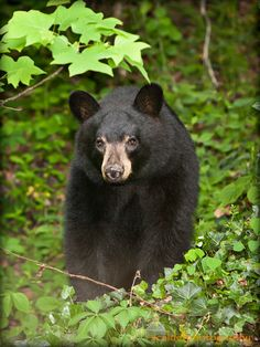 Black Bear in the woods in the Blue Ridge Mountains of North Carolina By scalderphotography
