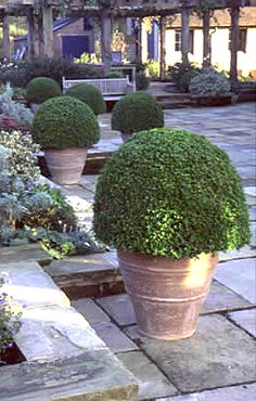 Love potted Boxwood