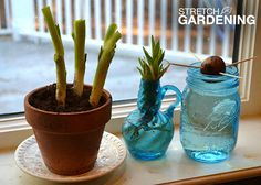 """Grow a scrap garden in your window sill by tucking kitchen cuttings into pots of soil or jars of water. Guest Garden Club bloggers Lucy and Laura Mercer show you how easy it is to make kitchen """"trash"""" into new houseplants... when you click through."""