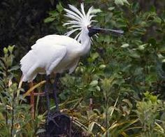 spoonbill nz - Google Search