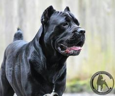 "Beautiful Black Cane Corso out of ""About Time Cane Corso Italiano"" Cane Corso Italian Mastiff, Cane Corso Mastiff, Cane Corso Dog, Black Cane Corso, Really Big Dogs, Presa Canario, Bully Dog, Large Dog Breeds, Family Dogs"
