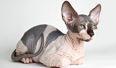 Everything you want to know about Sphynx including grooming, health problems, history, adoption, finding a good breeder and more.